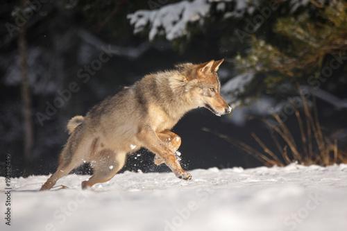 Photo  Wolf im Schnee