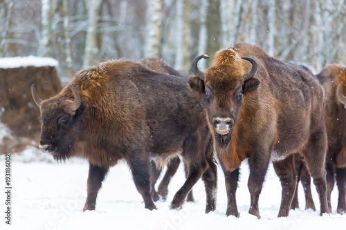 Photo Large brown bisons Wisent group near winter forest with snow