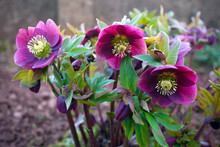 Purple Hellebore Flower In The...
