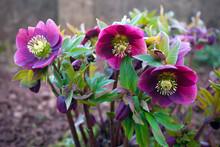 Purple Hellebore Flower In The...