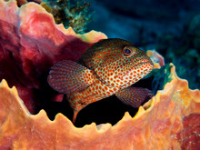 Graysby Grouper Peaking Out Of Barrel Sponge
