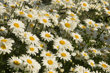 Shasta Daisies Blooming In Par...