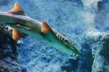 Brownbanded Bamboo Shark (Chil...