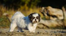 Shih Tzu Dog Outdoor Portrait Standing On Sand Beach