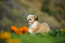 Shih Tzu Puppy Dog Running Thr...