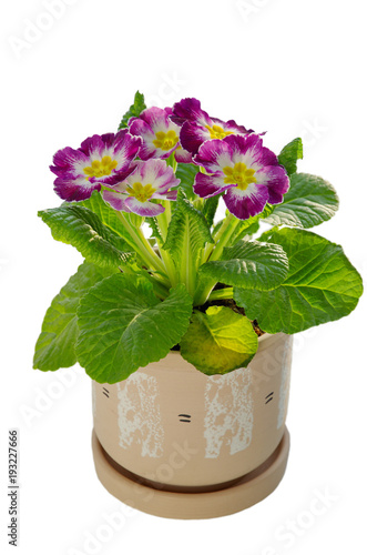 Foto op Canvas Madeliefjes Primula vulgaris in a ceramic pot isolated on white background