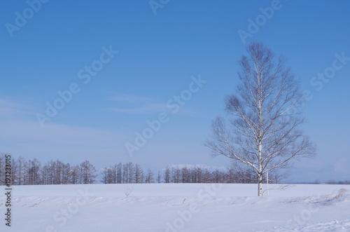 Fotografie, Obraz  冬の北海道の雪原と白樺の木