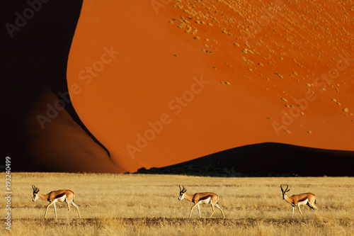 Fotografie, Obraz  Three springbok walking from left to right over grassland with a big red sand dune in the background in Sossusvlei in Namibia