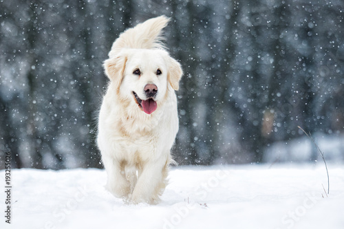 Poster Chien dog outdoors in winter