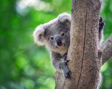 Koala Bear In Zoo.