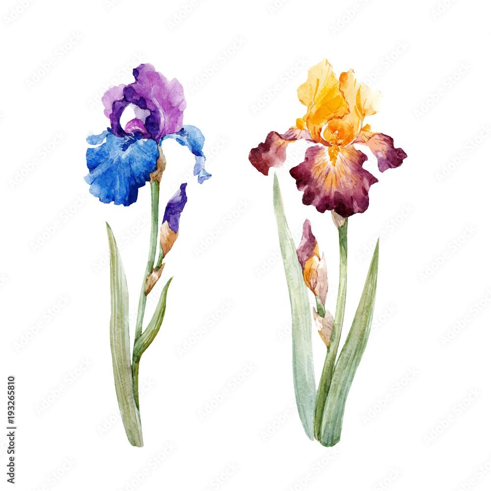 Fototapeta Watercolor iris vector set