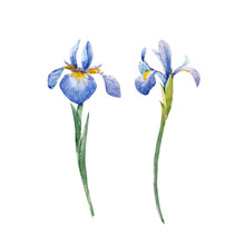 Watercolor Iris Vector Set