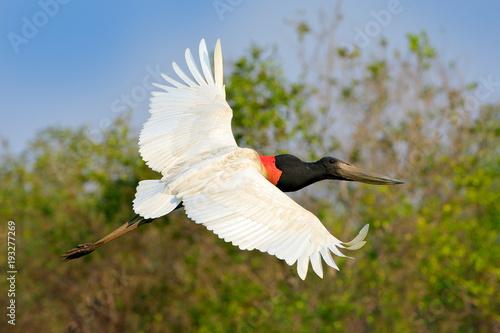 Fotografija  Brazil bird in fly