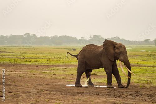 Fotomural Elephant urinating in Amboseli Park in Kenya