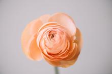 Tender Peach Coloured Single R...