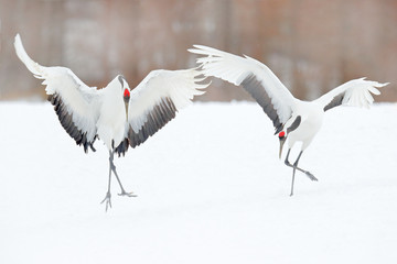FototapetaDancing pair of Red-crowned crane with open wing in flight, with snow storm, Hokkaido, Japan. Bird in fly, winter scene with snow. Snow dance in nature. Wildlife scene from snowy nature. Snowy winter.