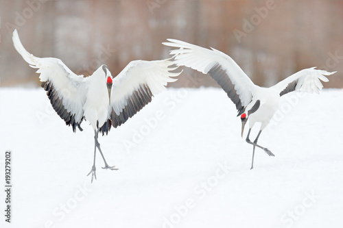 Fotografie, Obraz  Dancing pair of Red-crowned crane with open wing in flight, with snow storm, Hokkaido, Japan