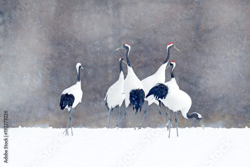 Photo  Flock of cranes with snow flakes, Japan Winter