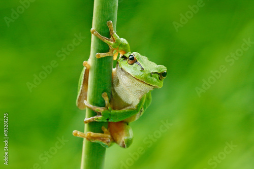 European tree frog, Hyla arborea, sitting on grass straw with clear green background. Nice green amphibian in nature habitat. Wild frog on meadow near the river, habitat.
