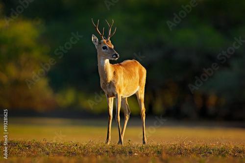 Fotografija  Pampas Deer, Ozotoceros bezoarticus, sitting in the green grass, Pantanal, Brazil