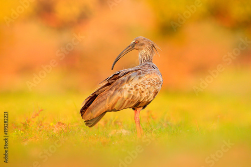 Fotografija  Plumbeous Ibis, Theristicus caerulescens, exotic bird in the nature habitat, bird sitting in grass with beautiful evening sun light, during sunset, Barranco Alto, Pantanal, Brazil , Wildlife nature