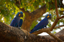 Two Hyacinth Macaw, Anodorhync...