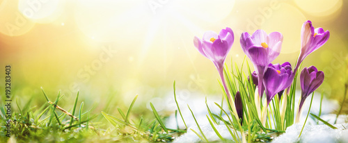Tuinposter Krokussen Springtime. Spring Flowers in Sunlight. Outdoor Nature