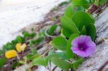 Ipomoea Pes-caprae, Green Leafs Goat's Foot Creeper On The Beach With Flower Bloom.