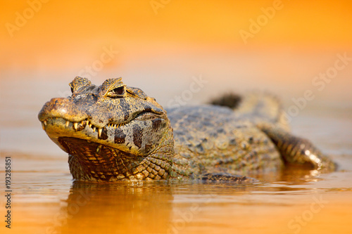 Yacare Caiman, gold crocodile in the dark orange evening water surface with sun, nature river habitat,  Pantanal, Brazil Canvas-taulu
