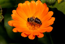 Bee Is Gathering Nectar From A Calendula Flower. Animals In Wildlife.