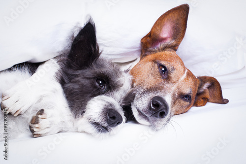 Poster Crazy dog couple of dogs in love in bed