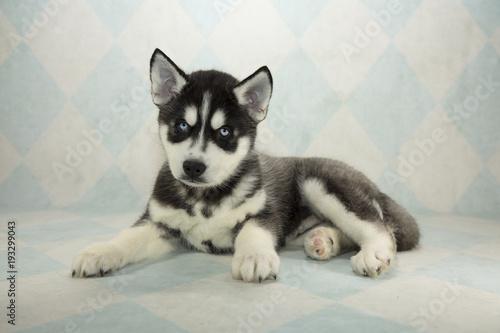 Siberian Husky on cream and blue diamond background Poster
