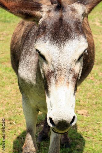 Fotografia, Obraz Herd of donkeys on breeding farm in Poland