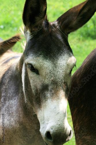 Photo  Herd of donkeys on breeding farm in Poland
