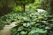 Exotic Plants With Large Green Leaves Growing Around Curved Wooden Boardwalk In A Garden.