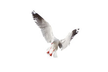 Seagull Flying Isolated On A White Background - Clipping Paths