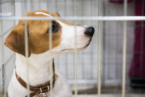 Fotografie, Obraz  cute dog breed jack russel terrier sits in an iron cage
