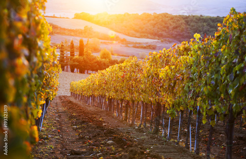 Vineyard among hills