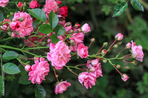 A Shrub With Small Pink Roses Blossoms In A Green Garden Buy This