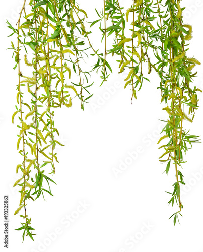 Young foliage and flowers of willow. Isolated. Spring. nature. Flowering  branches willow.
