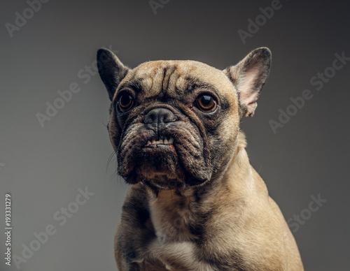 Bouledogue français Studio portrait of a smiling cheeky pug. A pug shows her teeth f