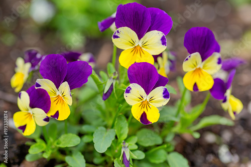 Poster Pansies Pretty violas flowering in the home garden.