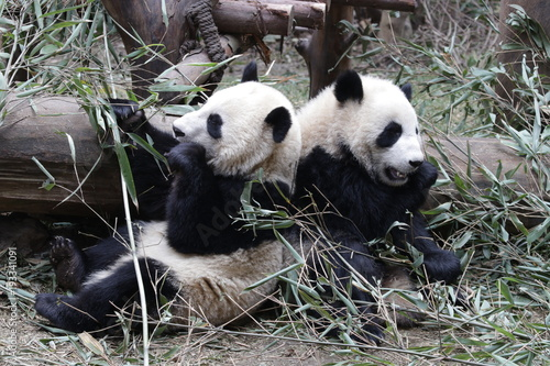 Stickers pour porte Panda Little Panda Cubs Sit Side by Side eeating Bamboo Leaves, China