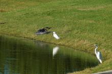 Alligator And Bird