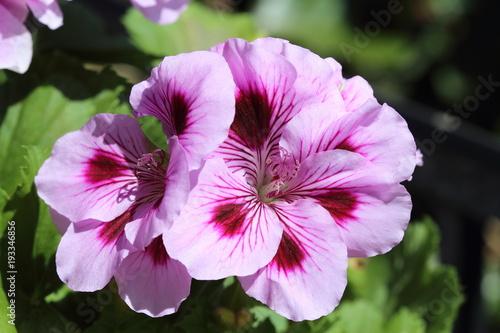 Grand plan de fleur de pélargonium rose