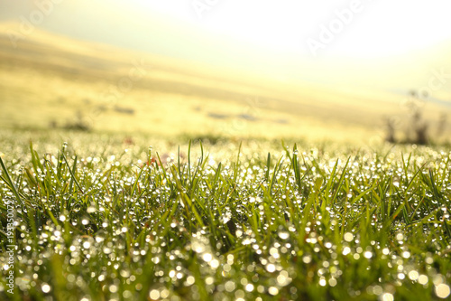 Poster Jaune de seuffre dew Drops of water on grass in the morning light