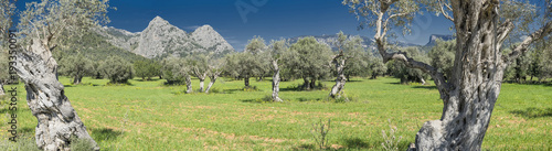 Tuinposter Olijfboom olive grove on the island of Mallorca