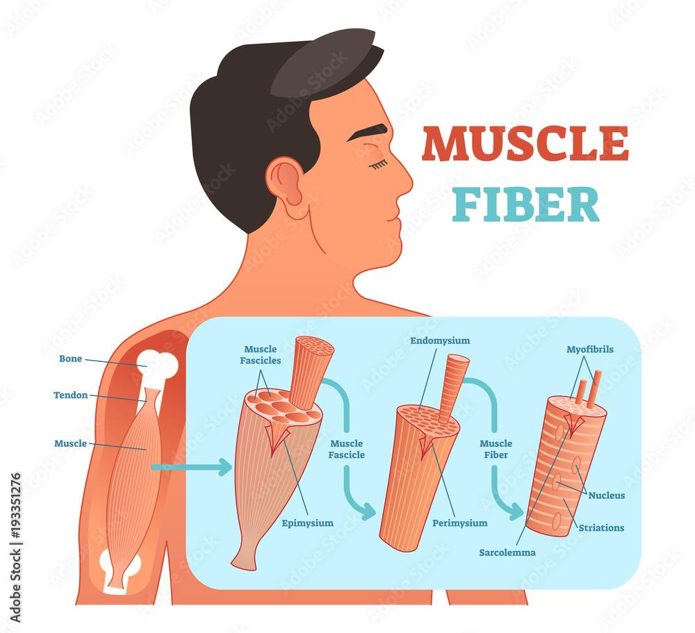 Valokuva  Muscle fiber anatomical vector illustration, medical education information