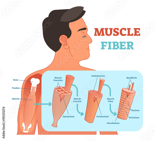 Valokuva  Muscle fiber anatomical vector illustration, medical education information