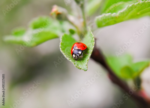 Ladybug (Coccinellidae) on the green leaf of Apple-tree in spring